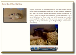 gerbil behaviour page